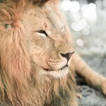 The lions sleep tonight: spend the night at ZSL London Zoo